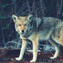 Best Electronic Coyote Call Review