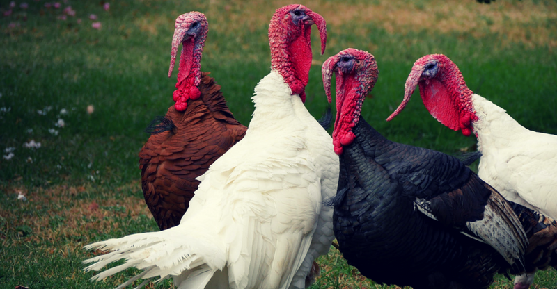 primos hook up turkey call